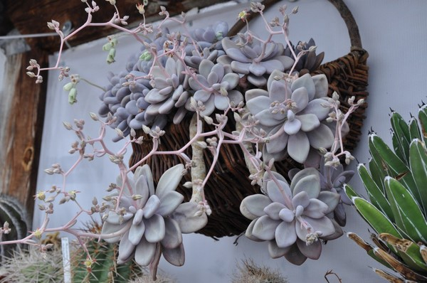 1034 graptopetalum amethystinum