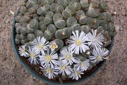 395 lithops villetii
